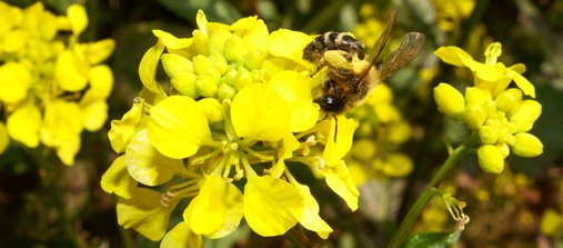 Abeille soliatire sur moutarde